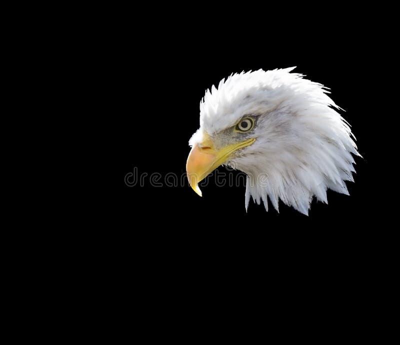 łysego orła haliaeetus leucocephalus zdjęcia stock