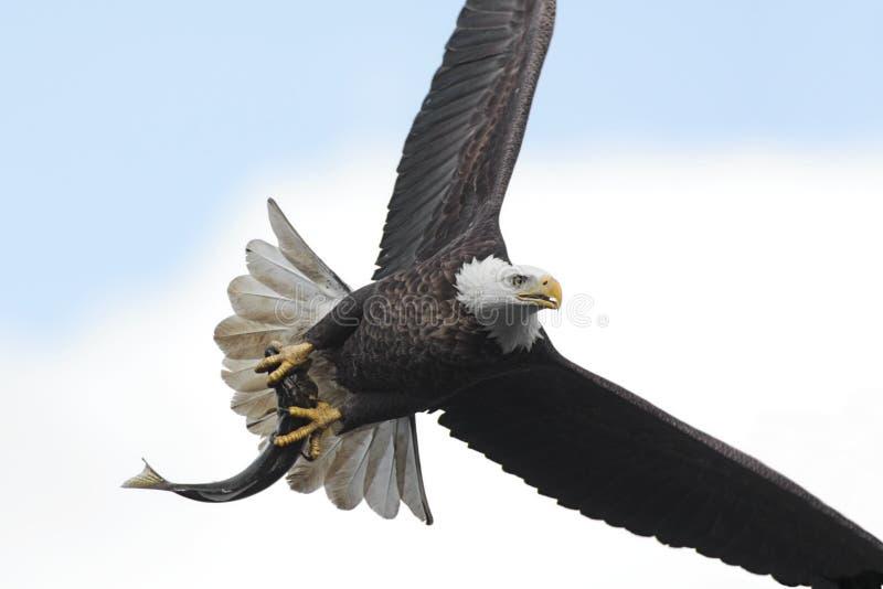 łysego orła haliaeetus leucocephalus fotografia royalty free