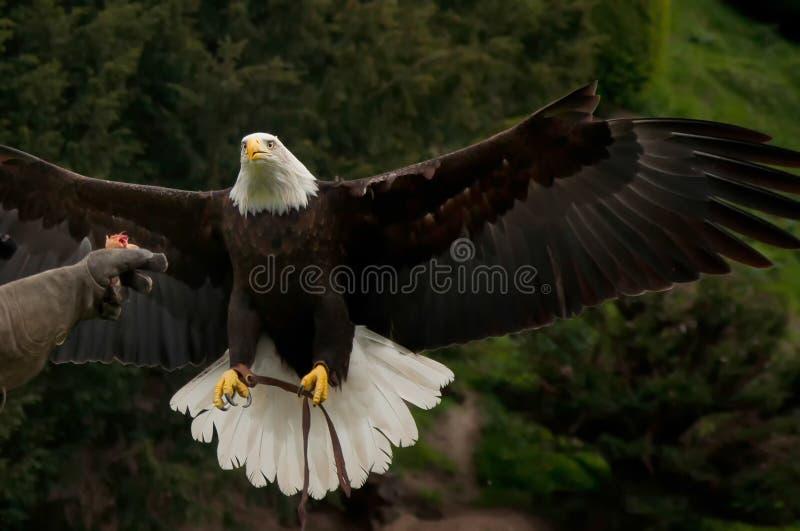 Łysego orła i sokolnika rękawiczka fotografia royalty free