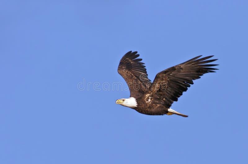 łysego orła latanie zdjęcie stock