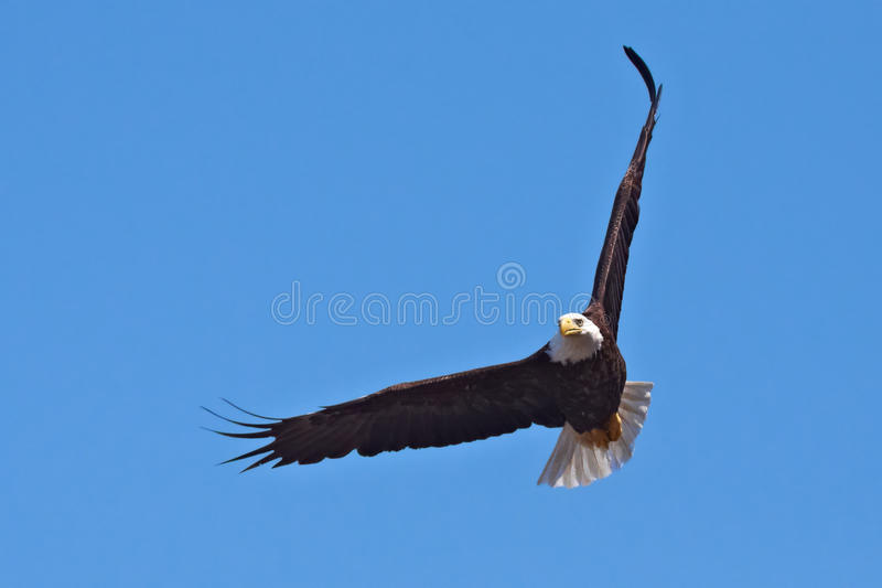 łysego orła lot