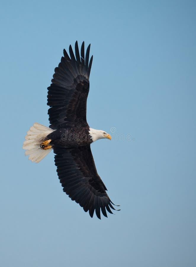 łysego orła lot zdjęcie royalty free