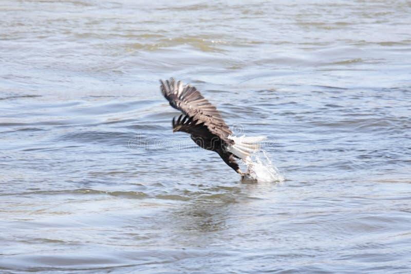 łysego orła połów zdjęcie royalty free