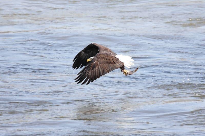 łysego orła połów zdjęcia stock