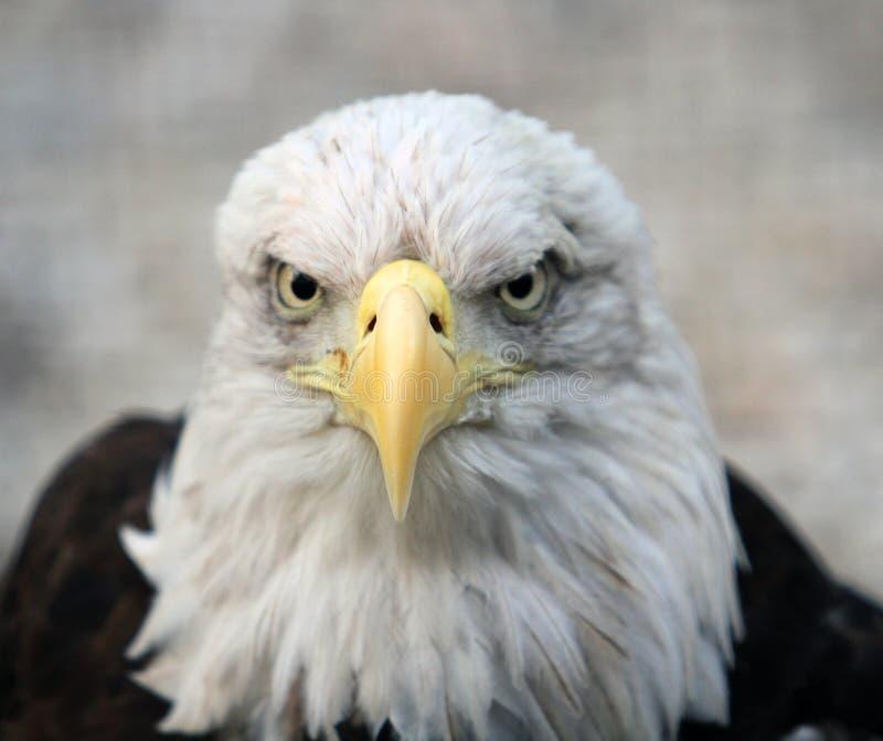 łysego orła portret zdjęcia royalty free