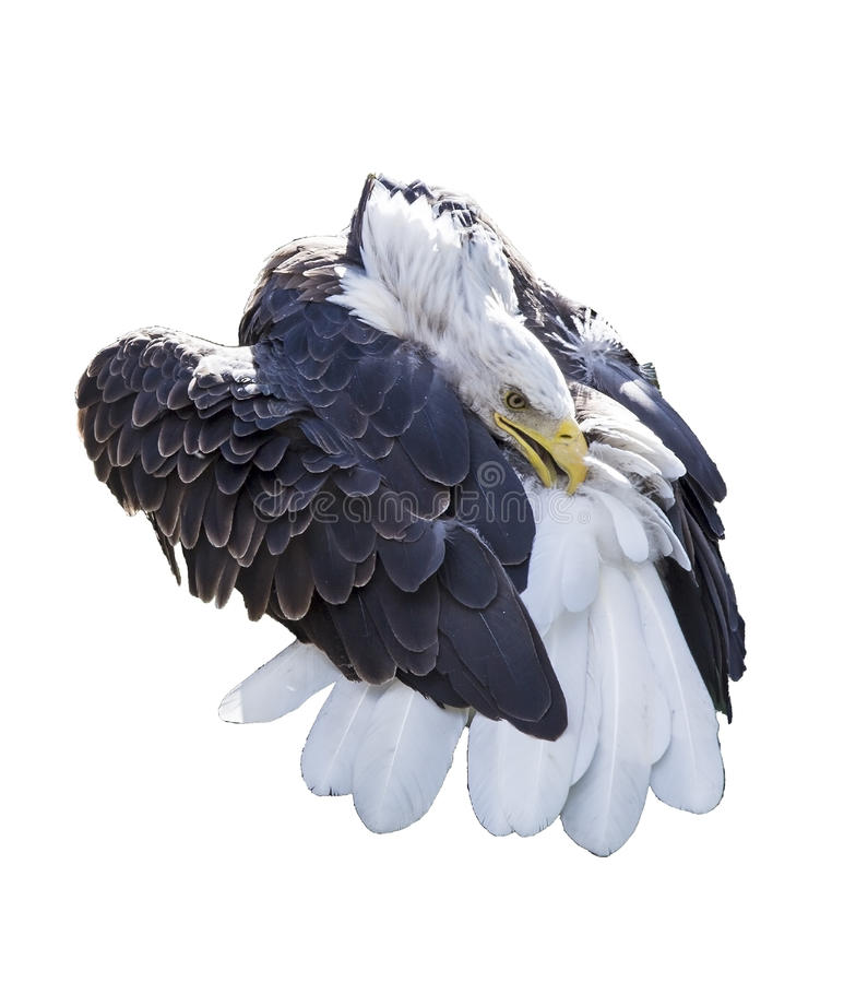 Łysego orła preening ogon odizolowywający fotografia royalty free