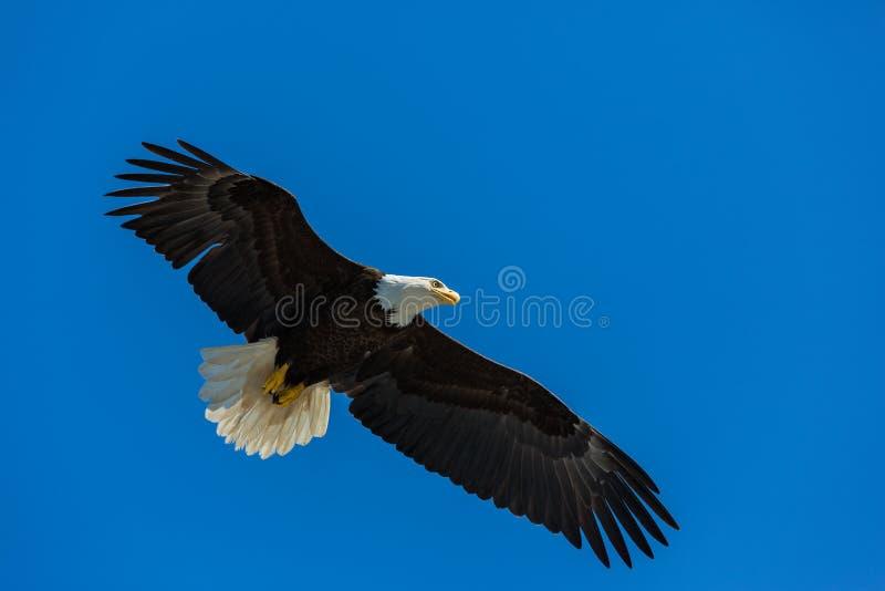 Łysy Eagle zdjęcia stock