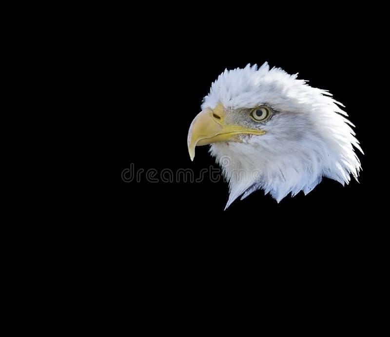 Łysy Eagle Boczny widok fotografia royalty free