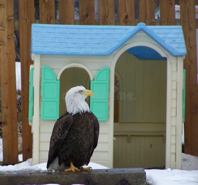Łysy Eagle Przed Dollhouse fotografia stock