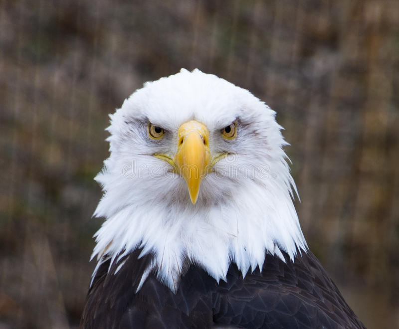Łysy Eagle Stawia czoło Naprzód zdjęcie royalty free