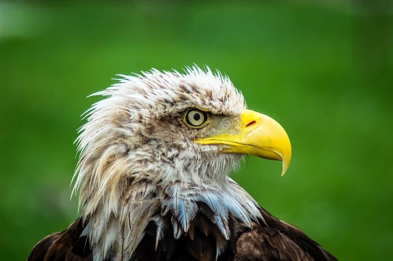 Łysy Eagle w Cabarceno Naturalnej rezerwie zdjęcia royalty free