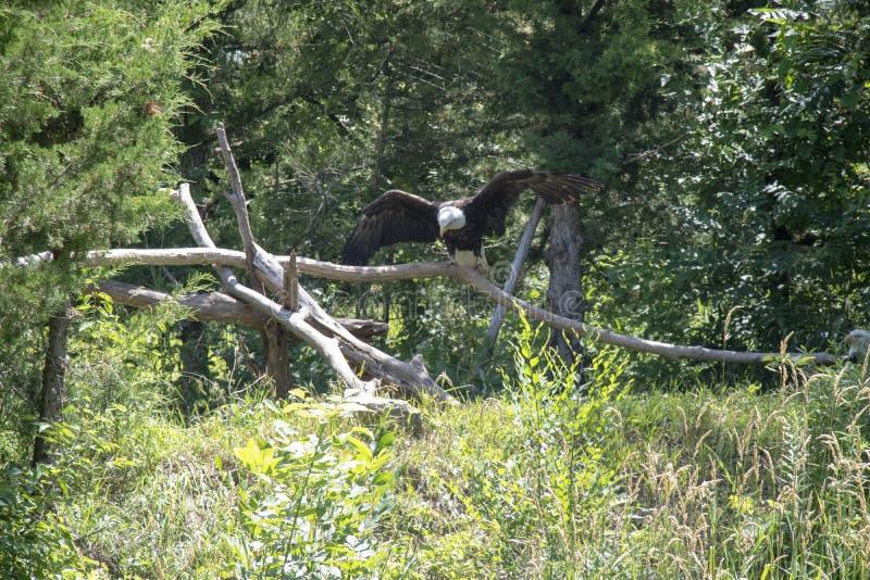Łysy Eagle w drewnach obrazy royalty free