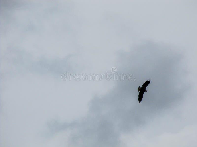 Łysy Eagle wznosi się niebo obrazy royalty free