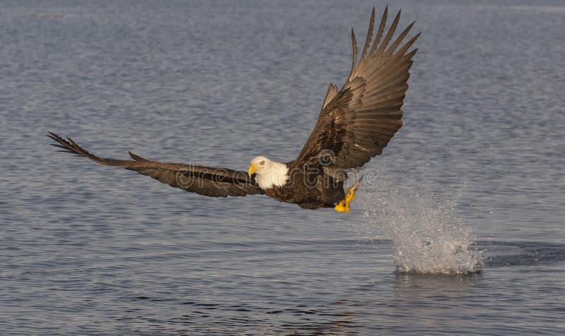 Łysy orzeł lata blisko wodnej łapanie ryba z wodnym pluśnięciem wewnątrz obraz stock