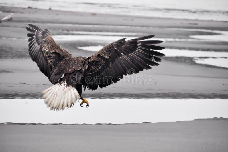 Łysy orzeł w locie, Alaska obraz stock