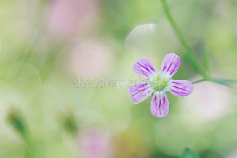 Łyszczec wiosny kwiatu kwiat, makro- strzał na słodkiej miękkiej zieleni obrazy royalty free