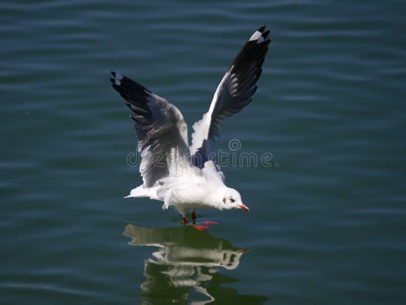 ŒSea för havsgullï¼ mjau, med den röda näbb som söker efter mat i sjön royaltyfria bilder