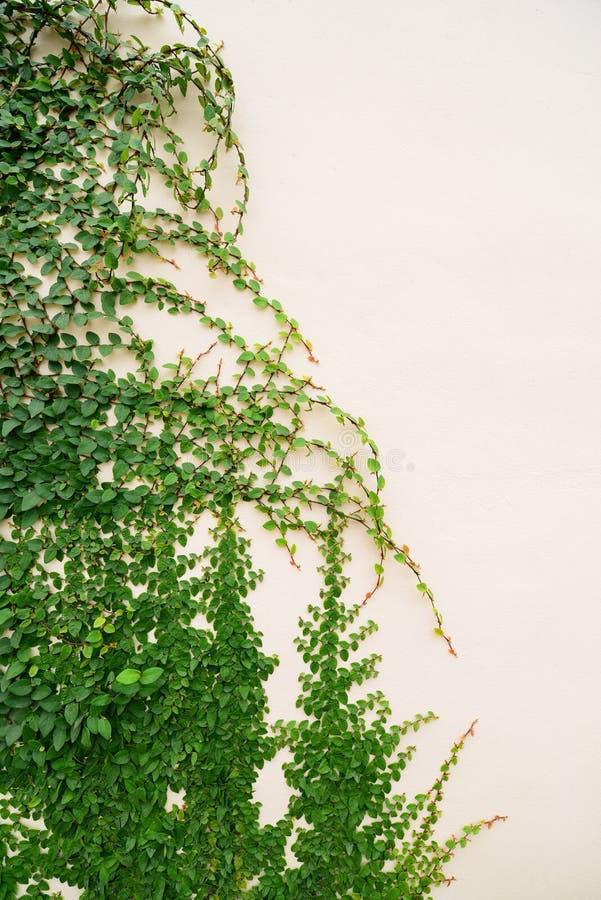 Ściana Bluszcz obraz royalty free