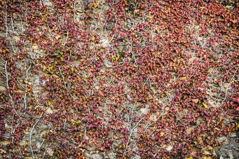 Ściana przerastająca z bluszcz rośliną fotografia stock