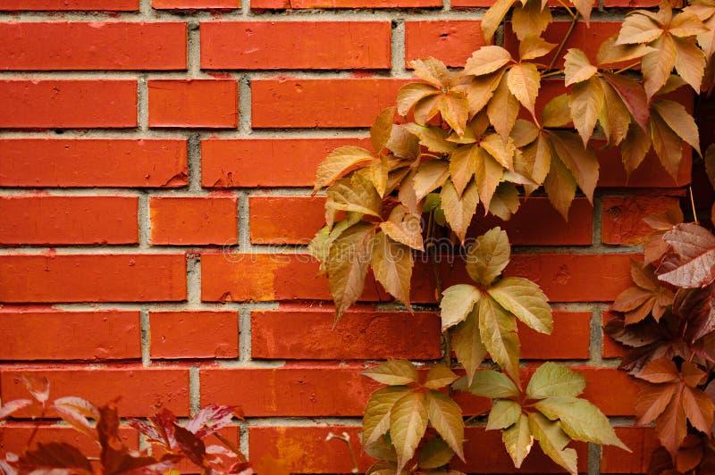 Ściana z cegieł i liście dziki winogrona tło i obraz royalty free