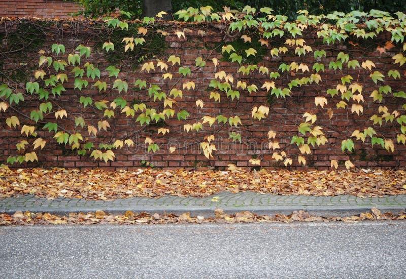 Ściana z cegieł z koloru żółtego i zieleni winogradem opuszcza na nim Chodniczek pełno spadać ulistnienie i asfaltowa droga zdjęcie royalty free