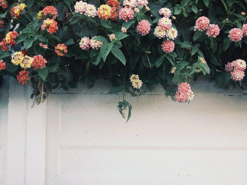 1 ściana z kwiatonośnym żywopłotem obrazy stock