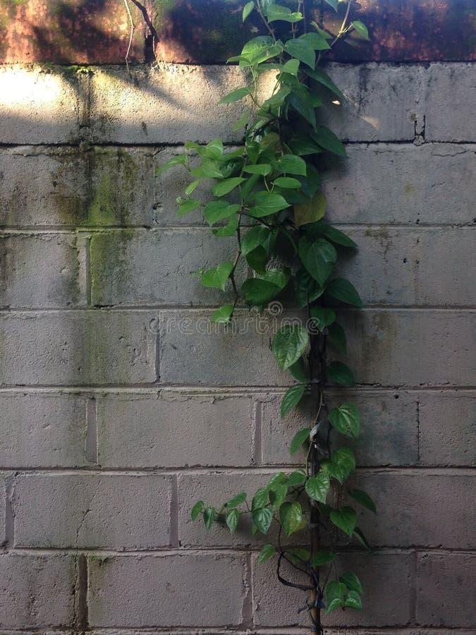 Ściana z rozciągniętym liściem fotografia stock