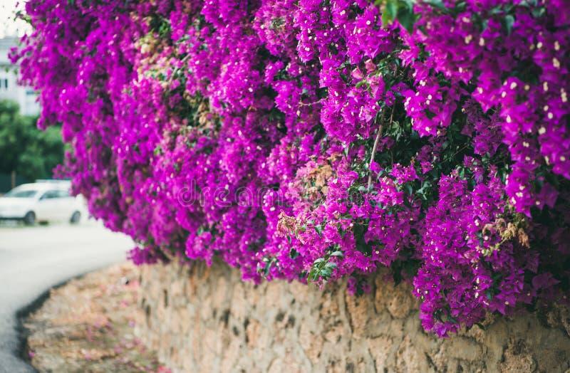 Ściana zakrywająca z purpurowym Bougainvillea fotografia stock
