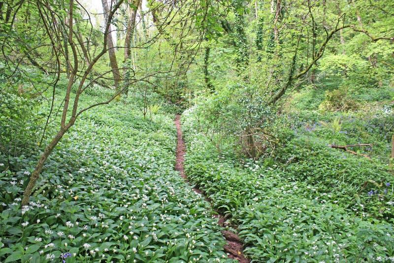 Ścieżka chociaż dziki czosnek w drewnie zdjęcie stock