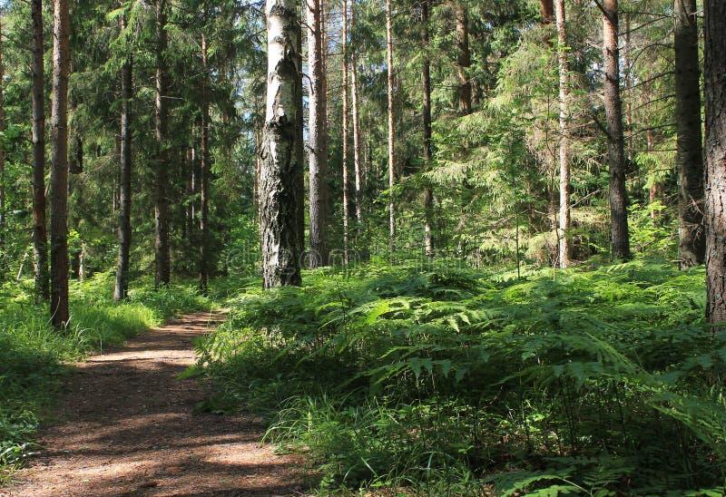 Ścieżka do lasów naturalnych Pnie drzew sosnowych i paproci zielonej zdjęcia royalty free