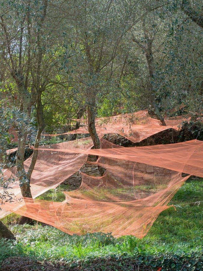 Ścieżka graniczył kamiennymi ścianami zakrywać oliwkami zbiera sieci obraz royalty free