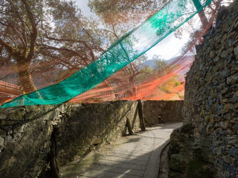 Ścieżka graniczył kamiennymi ścianami zakrywać oliwkami zbiera sieci zdjęcie stock