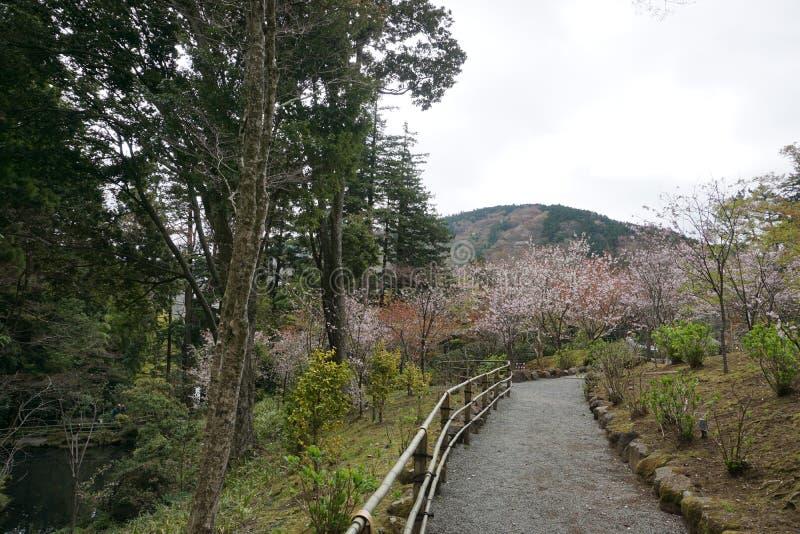 Ścieżka prowadzi przez natury i Czereśniowych okwitnięć w Japonia obrazy royalty free