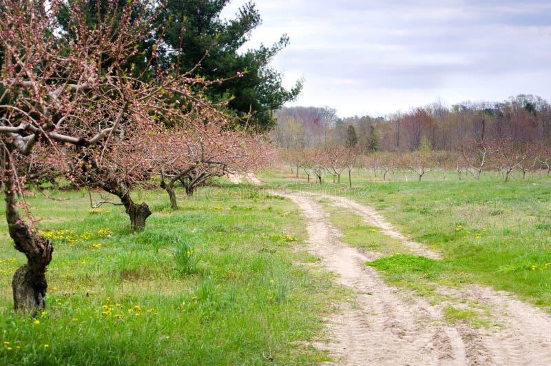 Ścieżka przez brzoskwinia sadu fotografia royalty free