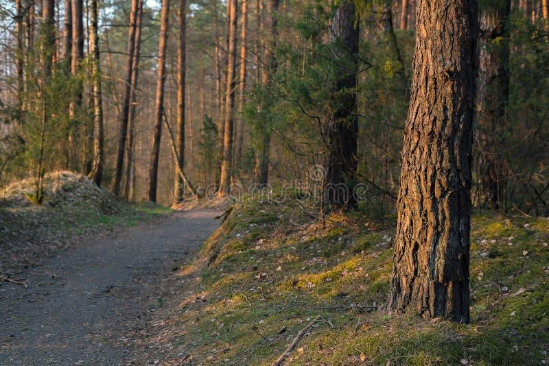 Ścieżka przez Europejskiego sosna lasu na słonecznego dnia wieczór Sosny deseniowy tło, konserwuje drewna zdjęcie royalty free