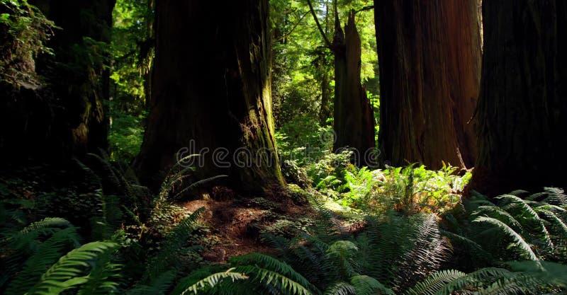Ścieżka Przez lasu, Redwoods obywatela & stanów parków, Kalifornia zdjęcia stock