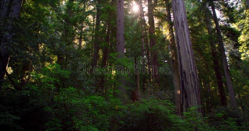 Ścieżka Przez lasu, Redwoods obywatela & stanów parków, Kalifornia obrazy royalty free