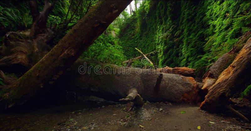 Ścieżka Przez lasu, Redwoods obywatela & stanów parków, Kalifornia obraz stock