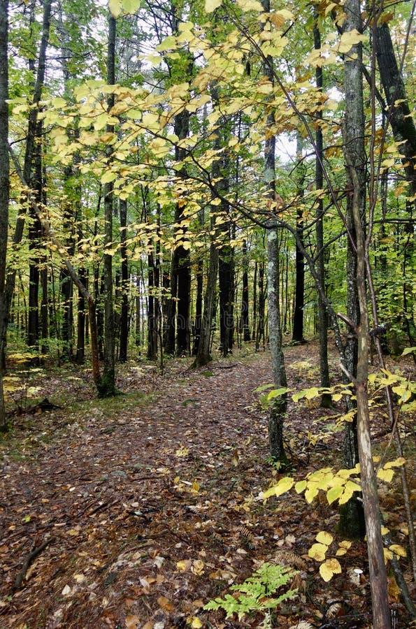Ścieżka przez młodego lasu w spadku obraz royalty free