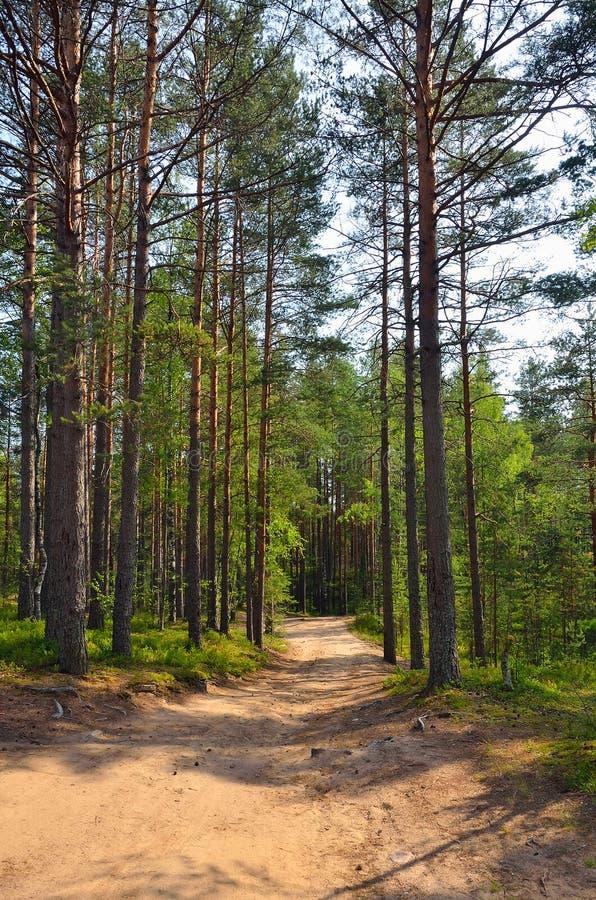 Ścieżka przez sosen w lesie zdjęcie stock