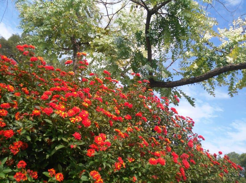 Ścieżka róże zdjęcia royalty free