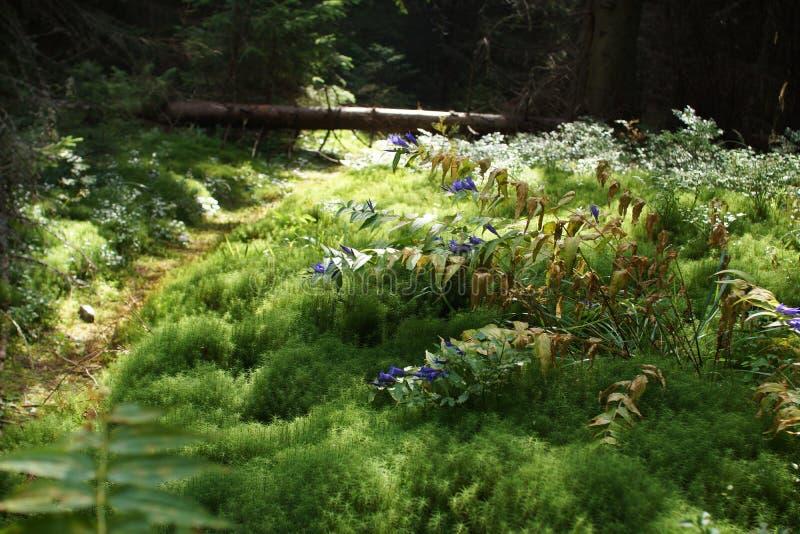 Ścieżka w Karpackim lesie zdjęcie stock