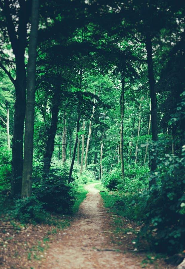 Ścieżka w lasowy prowadzić głęboko w drewna fotografia royalty free