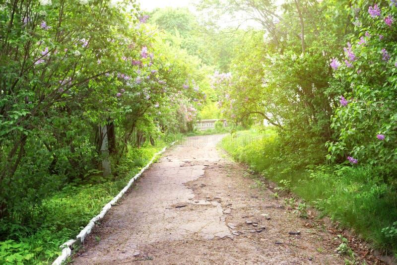 Ścieżka w parku z kwitnąć bzu obraz royalty free