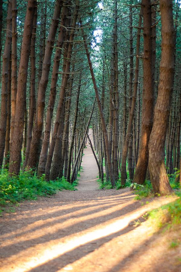Ścieżka w sosnowym lesie z fabuł drzewami, zdjęcia stock