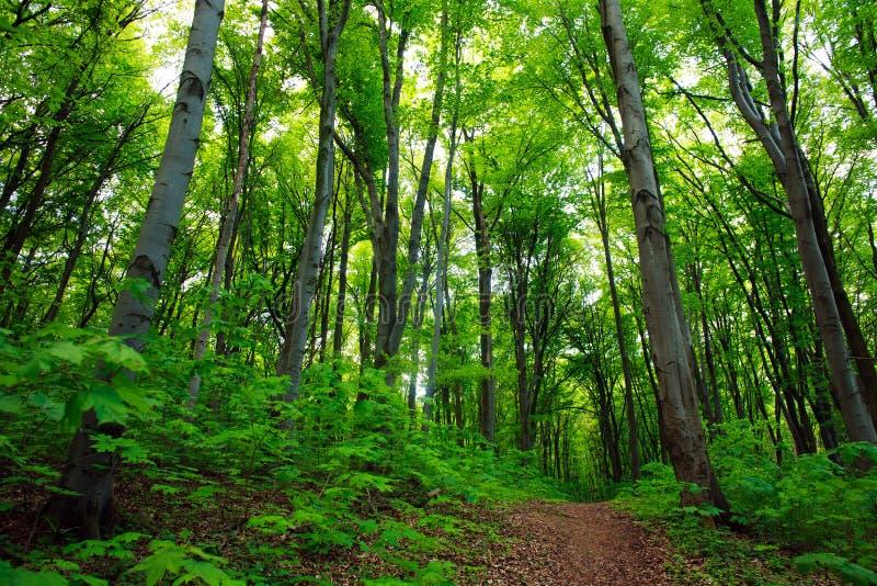 Ścieżka w zielonym deciduous lesie, natury tło zdjęcie stock
