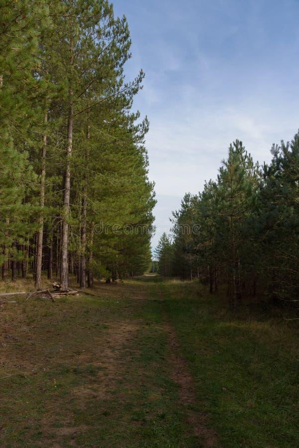 Ścieżka wykładająca z sosnami przy królewiątkami Lasowymi fotografia royalty free