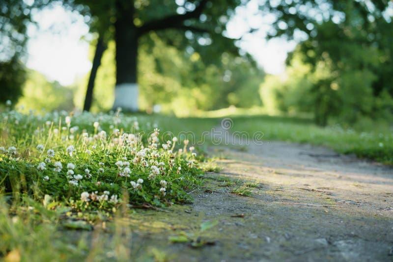 Ścieżka z koniczyną kwitnie na stronie zdjęcia royalty free