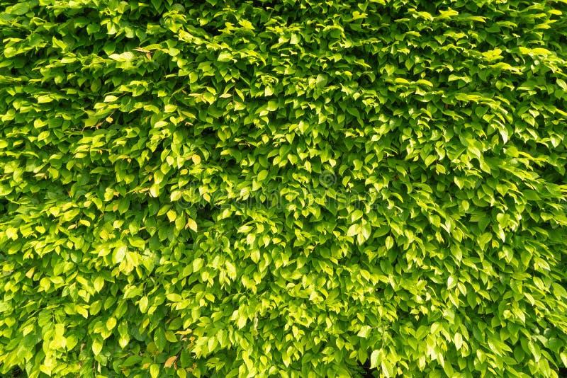 Ścienny żywopłot zieleń opuszcza w promieniach jaskrawy ranku słońce Kreatywnie rocznika naturalny t?o obraz stock