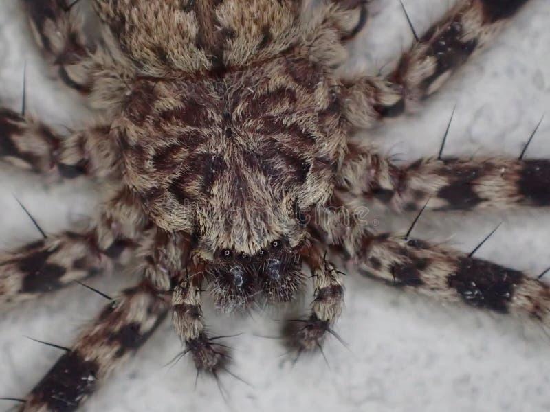 Ścienny kraba pająk fotografia stock